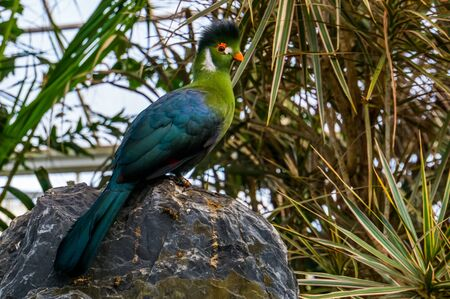 portrait of a white cheeked turaco sitting on a rock, colorful tropical bird specie from Africa Banque d'images