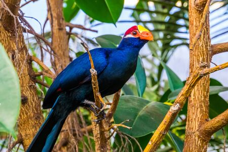 beautiful closeup portrait of a violet turaco, popular exotic bird specie from africa