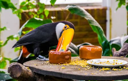 funny closeup of a toco Toucan eating seeds from a small bowl, tropical bird specie from America