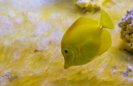 closeup portrait of a yellow tang fish, one of the most popular fishes in aquaculture, tropical fish from hawaii