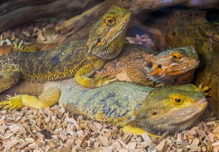 bearded dragon lizard family portrait, tropical reptile specie, popular terrarium pet in herpetoculture