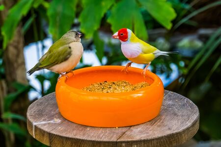 closeup of a gouldian finch couple eating seeds from a bowl, colorful tropical bird specie from Australia Banque d'images