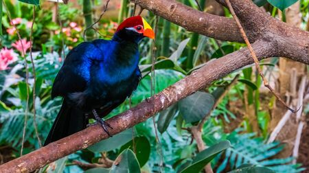 closeup of a violet turaco sitting in a tree, popular exotic bird specie from africa