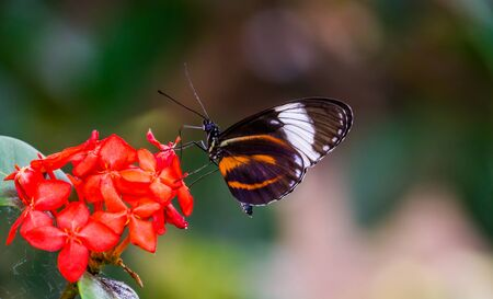 beautiful macro closeup of a tiger longwing butterfly on a flower, colorful tropical insect specie from Mexico and peru Banque d'images