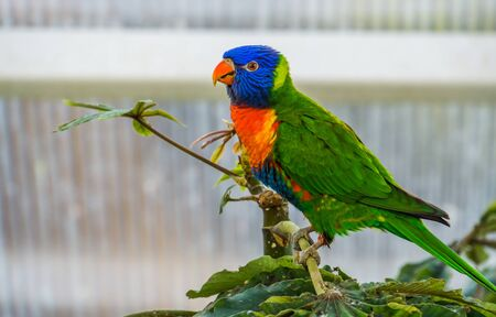 closeup of a rainbow lorikeet in a tree, colorful tropical bird specie from australia