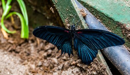 closeup of a great black mormon butterfly, tropical insect specie from Asia
