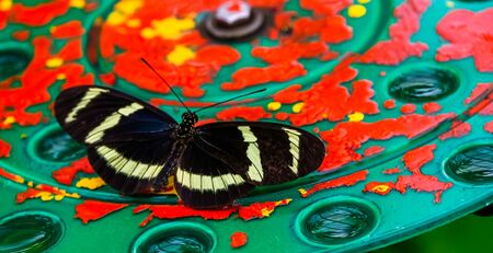 macro closeup of a hewitson's longwing butterfly, tropical insect specie from Costa Rica, America