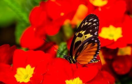 beautiful macro closeup of a tiger longwing butterfly on red flowers, colorful tropical insect specie from Mexico and peru