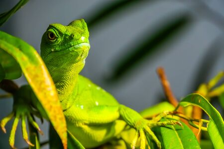 closeup portrait of a green plumed basilisk, tropical reptile specie from America Banque d'images