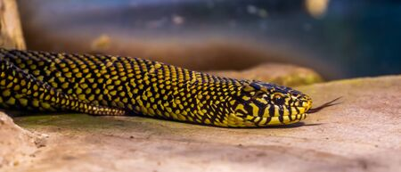 eastern king snake crawling over the ground in closeup, tropical reptile specie from America Banque d'images