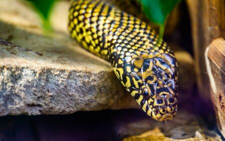 beautiful closeup of the face of a eastern king snake, tropical reptile specie from America Banque d'images