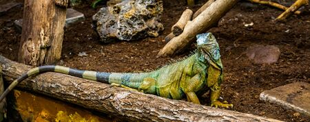 portrait of a green american iguana looking in the camera, popular tropical reptile specie from America Banque d'images