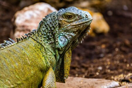 beautiful closeup portrait of the face of a green american iguana, popular tropical lizard from America Banque d'images