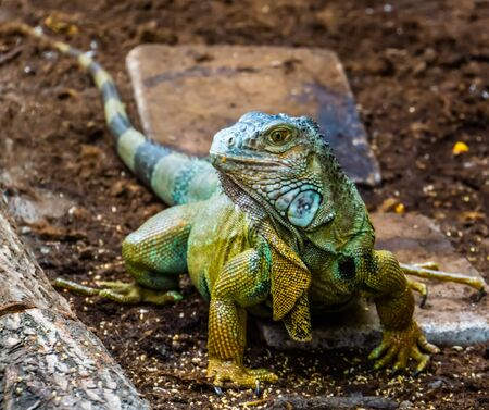 beautiful closeup portrait of a green american iguana, popular tropical lizard from America