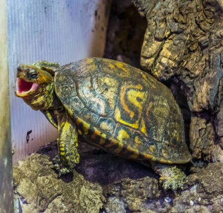 funny closeup of a painted wood turtle opening its mouth, Tropical reptile specie from Costa Rica