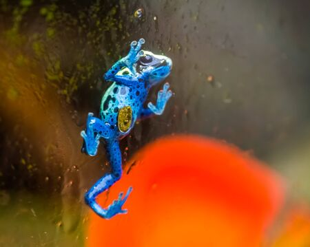 Blue poison dart frog walking against the glass window, tropical amphibian specie from Suriname, South America Banque d'images