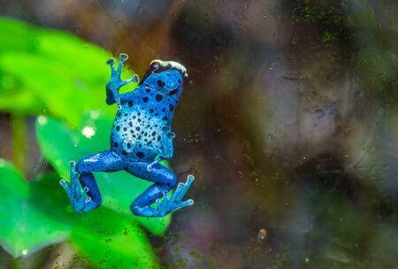 funny closeup of a blue poison dart frog climbing against the window, tropical amphibian specie from Suriname, South America Banque d'images