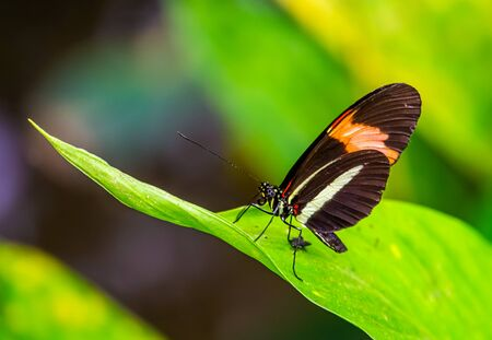 small red postman butterfly in macro closeup, tropical insect specie from Costa Rica, America