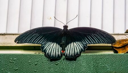 closeup of a black and white mormon butterfly, tropical insect specie from the philippines, Asia