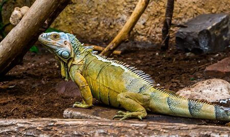 closeup portrait of a green american iguana, popular tropical reptile specie from America