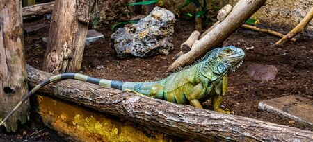 green american iguana in closeup, popular tropical reptile specie from America Banque d'images