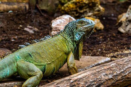 green american iguana in closeup, popular tropical lizard from America