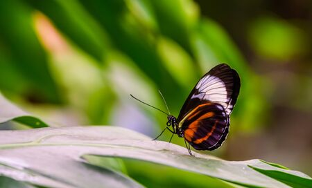 closeup of a postman butterfly on a leaf, nature background, tropical insect specie from America