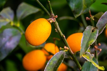 macro closeup of a fruiting kumquat plant, tropical plant specie from china, Asia
