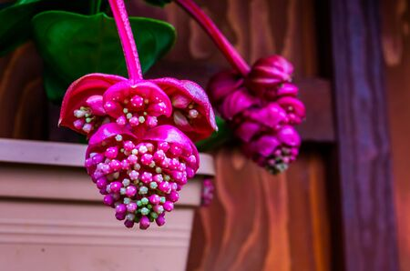 the flowers of a pink rose grape in macro closeup, tropical plant specie from the philippines, Asia