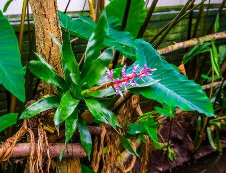 beautiful closeup of a aechmea blue tango plant in a tropical garden, exotic cultivar from Florida, America Banque d'images