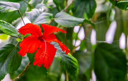 macro closeup a vibrant red chinese hibiscus flower, popular cultivated tropical plant from Asia