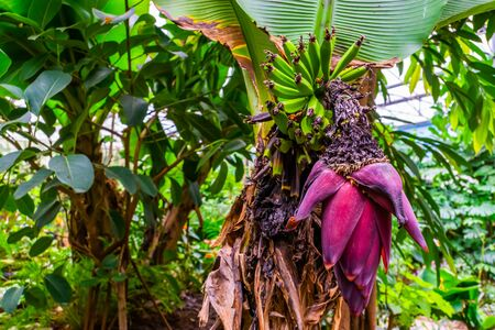 closeup of a bunch of banana's with a big pink flower, tropical plant specie from Australia