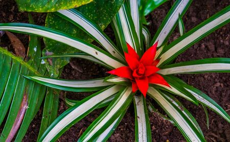 closeup of a bromelia flower in bloom, tropical plant specie from America