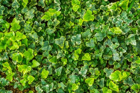 the leaves of a yellow variegated ivy plant in closeup, special ornamental cultivated specie