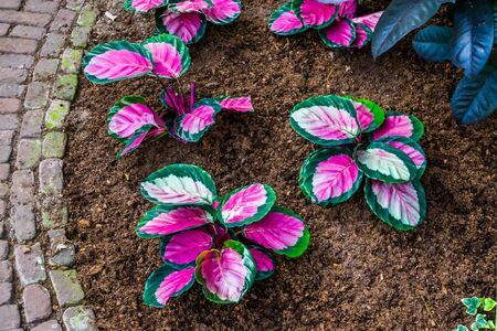 pink elephant ear plants in a tropical garden, popular exotic plant specie from America Banque d'images