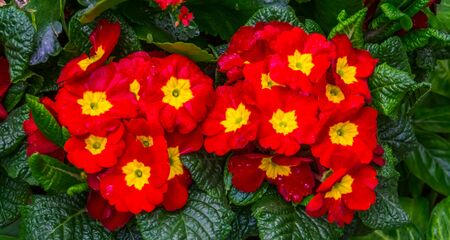 beautiful red and yellow primula flowers, popular tropical ornamental plant specie from America Banque d'images