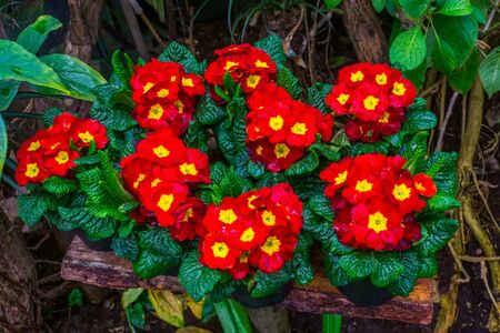 potted red and yellow primrose plants with colorful flowers, Exotic plant specie from America Banque d'images
