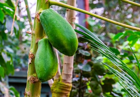 closeup of papayas growing on the plant, tropical fruiting plant specie from America