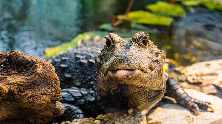 front closeup of a african dwarf crocodile in closeup, tropical and vulnerable reptile specie from Africa