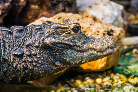 closeup of the face of an african dwarf crocodile, Vulnerable and tropical reptile specie from Africa