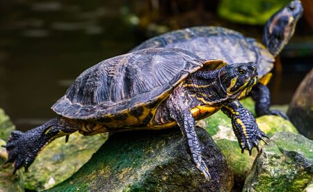 closeup portrait of a yellow bellied cumberland slider turtle, tropical reptile specie from America Reklamní fotografie