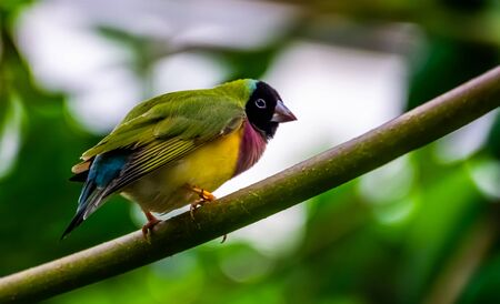 beautiful closeup portrait of a black headed gouldian finch, colorful tropical bird specie from Australia
