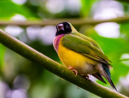 closeup of a black headed gouldian finch, colorful tropical bird specie from Australia