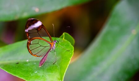 beautiful macro closeup of a glasswing butterfly, tropical insect specie from south America