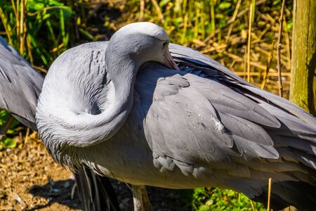 blue paradise crane preening its feathers in closeup, Vulnerable bird specie from Africa Reklamní fotografie