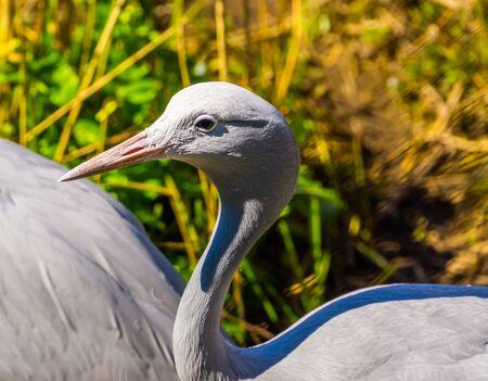 closeup of a blue paradise crane, Vulnerable bird specie from Africa