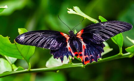 beautiful macro closeup of a red scarlet butterfly, tropical insect specie from Asia
