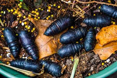 Black pupae laying in garden soil, common insect species