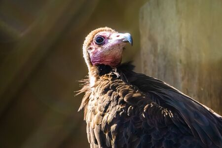 hooded vulture with its face in closeup, critically endangered scavenger bird from the desert of Africa