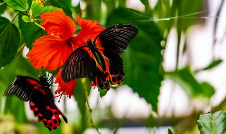 closeup of a red scarlet butterfly on a chinese hibiscus flower, tropical insect specie from Asia Reklamní fotografie